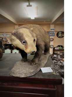 Mounted taxidermy badger
