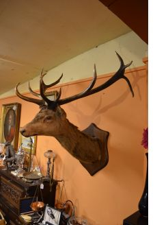 Large old stags head