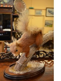 Taxidermy - red squirrel on plinth
