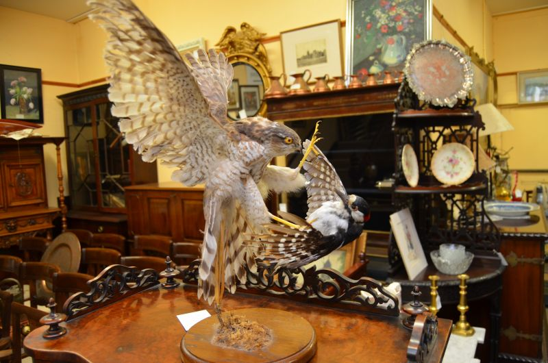 Taxidermy ...Hawk and prey on wooden plinth